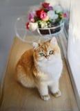 猫在桌上熔铸了由窗口 库存照片