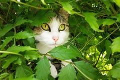 猫在灌木掩藏 免版税库存照片
