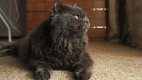 猫在窗口在地毯看,说谎并且摇摆它的尾巴关闭  股票视频