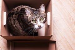 猫在纸板箱坐,偷看  免版税库存照片