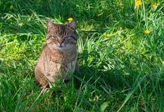 猫在草甸 库存图片