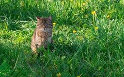 猫在草甸 免版税库存图片