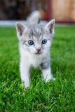 猫在草站立 免版税库存照片