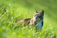 猫在绿色草甸 免版税库存照片