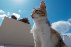 猫在Sun City在Oia圣托里尼 库存照片