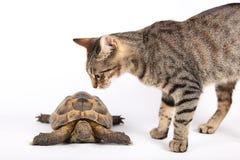 猫地产镶边乌龟 免版税库存照片