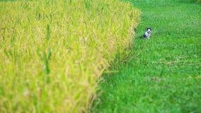 猫坐下在金黄米领域和绿草领域、在前景的金黄模糊的米五谷和背景之间 免版税库存图片