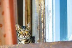 猫坐与红色和蓝色帷幕的窗口 免版税库存照片