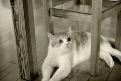 猫坐在椅子下 免版税库存图片