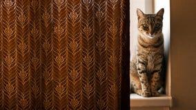 猫坐窗口基石和偷看从帷幕的后面 免版税库存图片