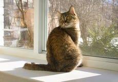猫坐窗台和看在开窗口里面的肩膀与蚊帐 免版税库存图片