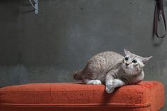 猫坐被抓的橙色织品沙发 库存图片