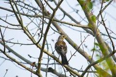 猫声鸟坐不生叶的树 库存照片