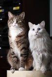 猫夫妇 库存图片