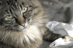 猫头发长 免版税库存照片
