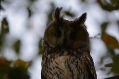 猫头鹰在奥特霍伦在坐在树的荷兰 免版税库存图片