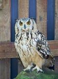 猫头鹰在开普敦,桌山国家公园 免版税库存照片