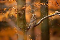 猫头鹰在橙色森林,黄色叶子里 在秋天期间,与橙色橡木的长耳朵猫头鹰离开 自然的,瑞典野生生物场面 生命 库存图片
