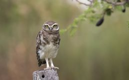 猫头鹰在看照相机的杆栖息 免版税库存照片