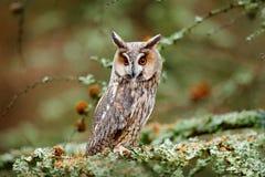 猫头鹰在自然木自然栖所 鸟坐树,长的耳朵 猫头鹰狩猎 绿色地衣Hypogymnia physodes 愚钝 免版税库存图片