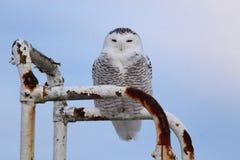 猫头鹰布拉格多雪的动物园 免版税库存图片
