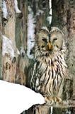 猫头鹰是智慧的标志和聪明的 这里在冬天冻结的天气在拉普兰芬兰 免版税图库摄影
