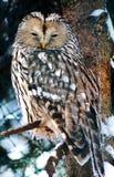 猫头鹰是智慧的标志和聪明的 这里在冬天冻结的天气在拉普兰芬兰 库存照片