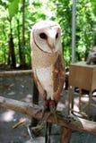 猫头鹰是罕见的与在狂放居住的美丽的眼睛 图库摄影