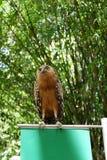 猫头鹰是罕见的与在狂放居住的美丽的眼睛 库存照片