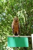 猫头鹰是罕见的与在狂放居住的美丽的眼睛 免版税图库摄影