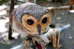 猫头鹰是罕见的与在狂放居住的美丽的眼睛 库存图片