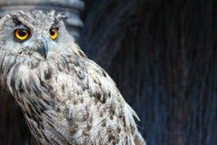 猫头鹰用桔子注视特写镜头 免版税库存照片