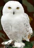 猫头鹰白色 免版税库存图片