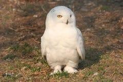 猫头鹰白色 库存图片