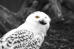 猫头鹰白色 图库摄影