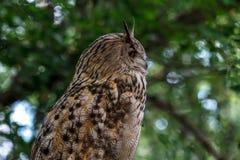 猫头鹰的沉思神色 听声音 免版税库存照片