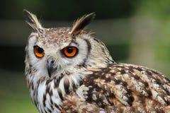 猫头鹰的美丽的纵向。 免版税库存照片