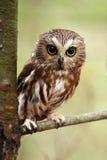 猫头鹰看见磨 免版税库存照片