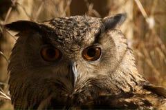 猫头鹰眼睛 免版税库存图片