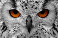 猫头鹰眼睛 免版税库存照片