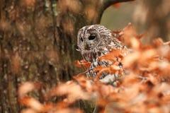 猫头鹰类aluco 松鸡爱本质歌曲通配木头 美丽的猫头鹰照片 捷克的秋天本质 免版税库存照片