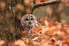 猫头鹰类aluco 松鸡爱本质歌曲通配木头 美丽的猫头鹰照片 捷克的秋天本质 免版税图库摄影