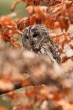 猫头鹰类aluco 松鸡爱本质歌曲通配木头 美丽的猫头鹰照片 捷克的秋天本质 库存照片