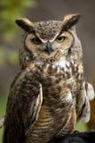 猫头鹰纵向尖叫声 免版税库存照片