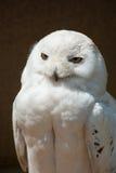 猫头鹰纵向雪 图库摄影