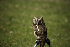 猫头鹰纵向 免版税库存图片