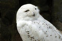 猫头鹰雪白色 免版税库存图片