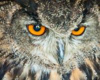 猫头鹰顶头特写镜头 免版税库存照片