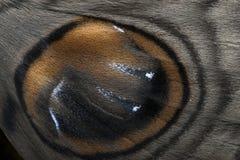 猫头鹰飞蛾翼特写镜头照片被拍在巴德拉普尔 免版税库存照片