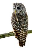 猫头鹰黄褐色 库存图片